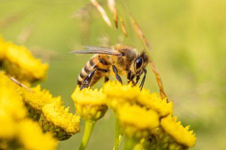 honey-bee-6506809_1280