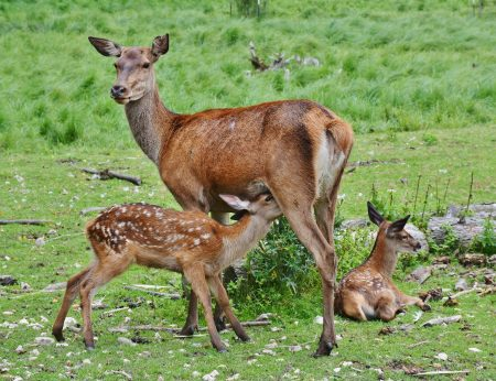roe-deer-2549613_1280